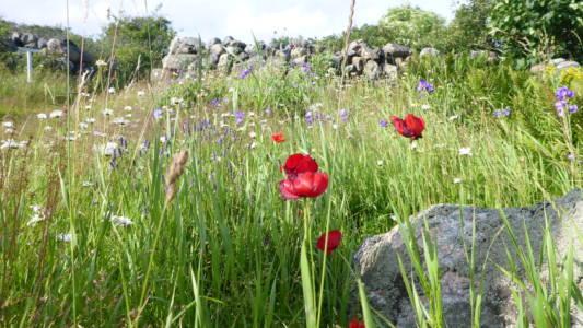 Blomstereng på Ramsø